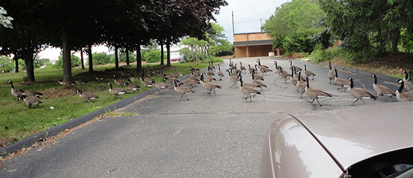 Here are a BUNCH OF CANADIAN GEESE TAKING UP THE ROAD.
