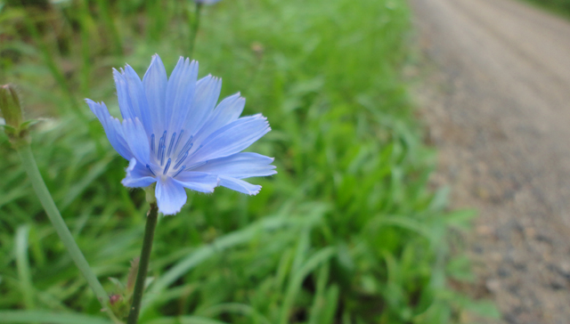 Chicory is a beloved summer flower of mine.