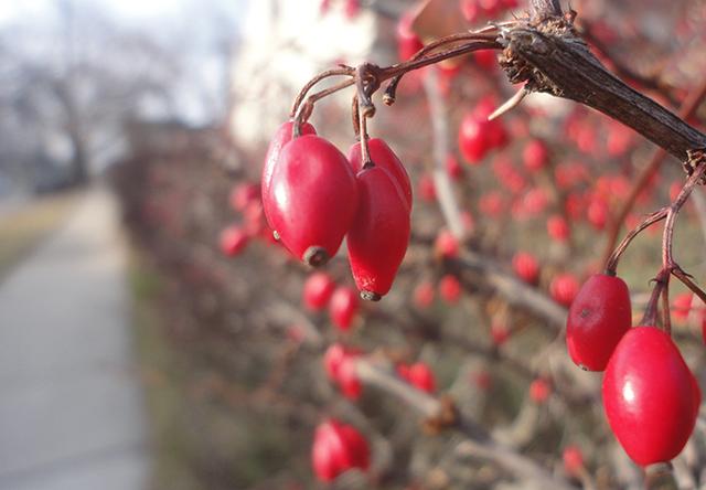 What lovely berries! So festive!