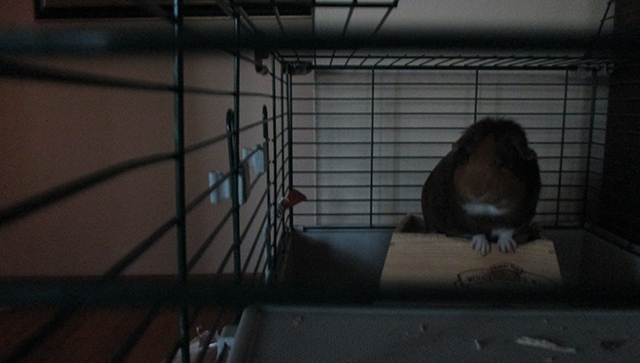 This is Franklin. In his cage. In the dusk. He is standing on his house, like a baby Snoopy.  Do you love his white paws?