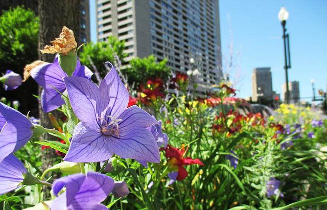 Overgrown flowers on my city-street.