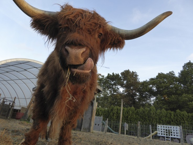 face-of-highland-cow