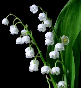 lily-of-the-valley-03