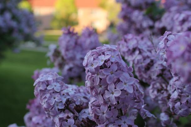 Spring-Purple-Lilac-Lilacs-Flower-490005.jpg